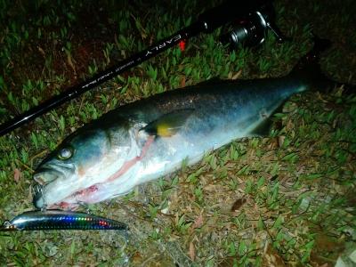 πολλές φορές η μάχη με το γοφαρι είναι τόσο σκληρή και εντυπωσιακή που βγάζουμε το ψάρι οριακά πιασμένο με τις σαλαγγες και με εμφανή τα σημάδια της πάλης για να ελευθερωθεί